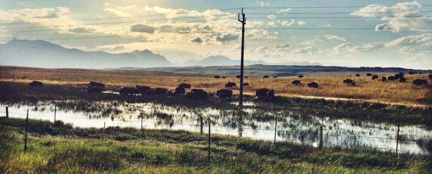 Buffalo herd in Montana