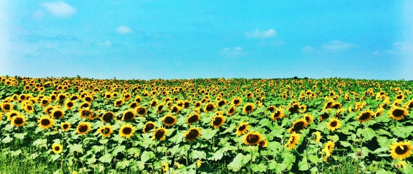 North Dakota Sunflowers