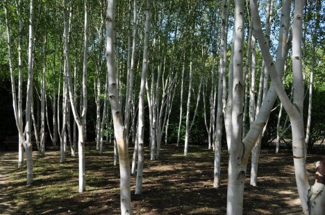 White Birch Grove at Anglesey Abbey