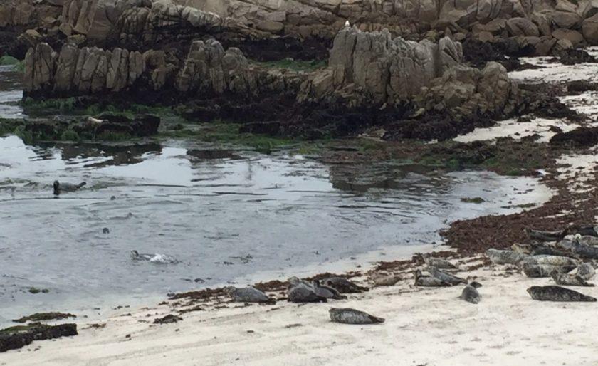 Harbor Seals at Pacific Grove