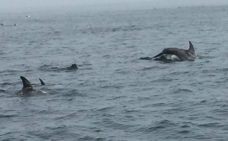 Dolphins in Monterey Bay