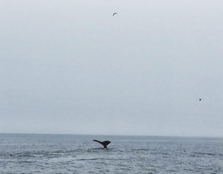 Humpback Whale Dives
